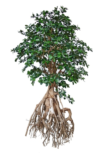 Buxifolia Root Giant